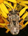 Megachile bee - Megachile