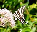 Zebra Swallowtail on Joe Pye Weed - Eurytides marcellus