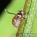 Planthopper 02 - Pissonotus flabellatus - female