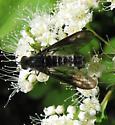 Bombyliidae 7-28-11 01a - Thevenetimyia