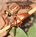 Diogmites ? robber fly - Diogmites angustipennis