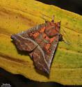 The Herald - Hodges#8555 (Scoliopteryx libatrix) - Scoliopteryx libatrix