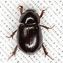 Scavenger Scarab Beetle - Hybosorus illigeri