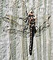 unknown dragonfly - Gomphaeschna furcillata