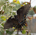 blue butterfly - Papilio glaucus - female