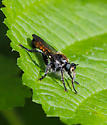 Bee-like Robber Fly - Laphria index