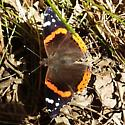 Nymphalidae: Vanessa atalanta - Vanessa atalanta