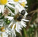 TN bee species - Megachile