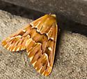 Moth - Caripeta aequaliaria