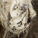 Constructed nest or cocoon? - Antheraea polyphemus
