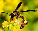 Wasp on goldenrod - Eumenes bollii