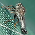 Robber fly - Efferia aestuans - male