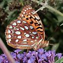 Which Fritillary? - Speyeria aphrodite - female