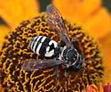 Black and white wasp - Triepeolus lunatus - male
