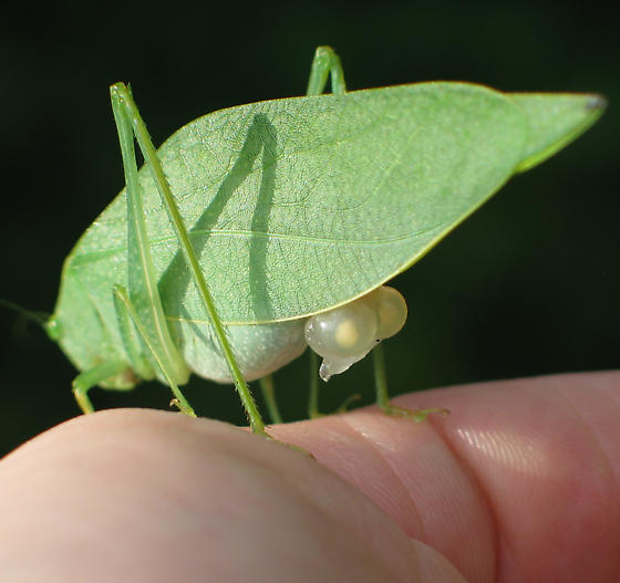 Angular-winged Katydid - Microcentrum retinerve - female