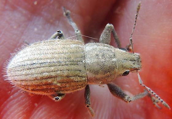 I thought this was a weevil, but I guess it is too big among other things! - Naupactus peregrinus