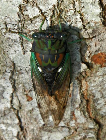 Georgia Cicada - Neotibicen tibicen