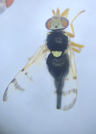 Aurora Urophora - Urophora stylata - female