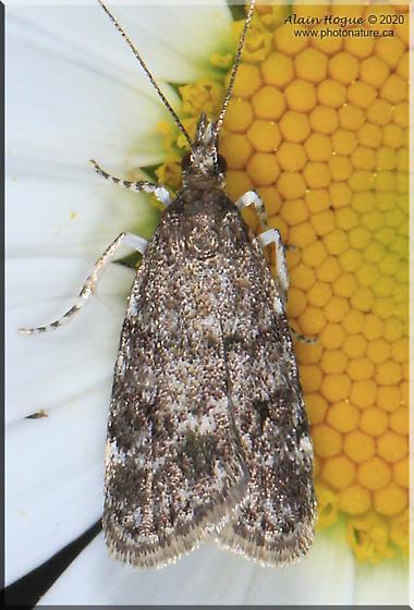 Scopariinae - Scoparia penumbralis