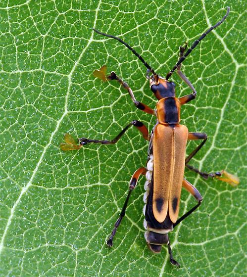 Beetle on Milkweed in Petersburg, Virginia - Chauliognathus marginatus