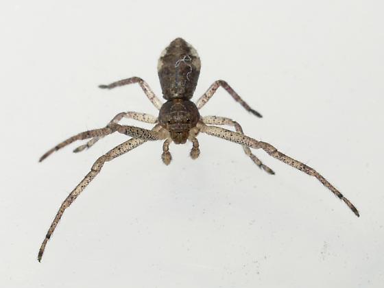 spider - Tmarus
