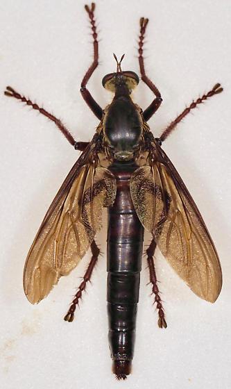 Large Robber Fly - Microstylum morosum - female