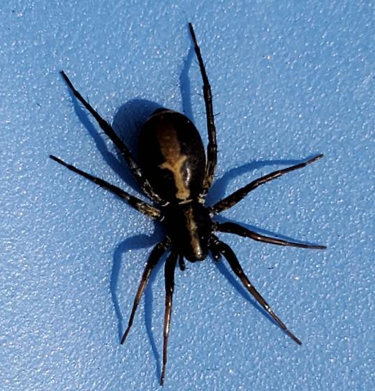 Spider with fleur de lis on back - Castianeira
