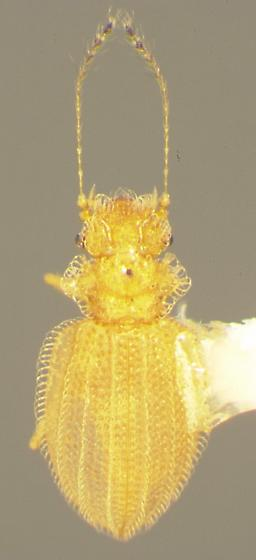 Dasycerus angulicollis Horn - Dasycerus angulicollis
