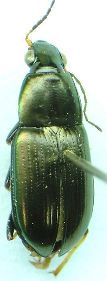 Stenocrepis 01 - Stenocrepis cuprea