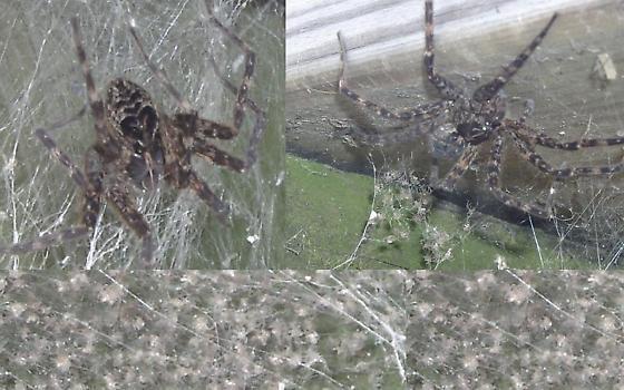 BIG SPIDER !!! - Dolomedes scriptus - female