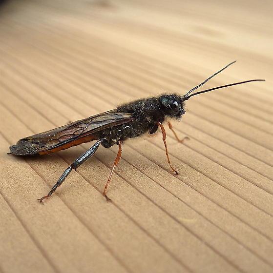 Sircicidae: Sirex - Sirex