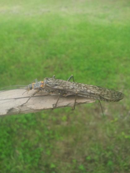 Plecoptera - Pteronarcys