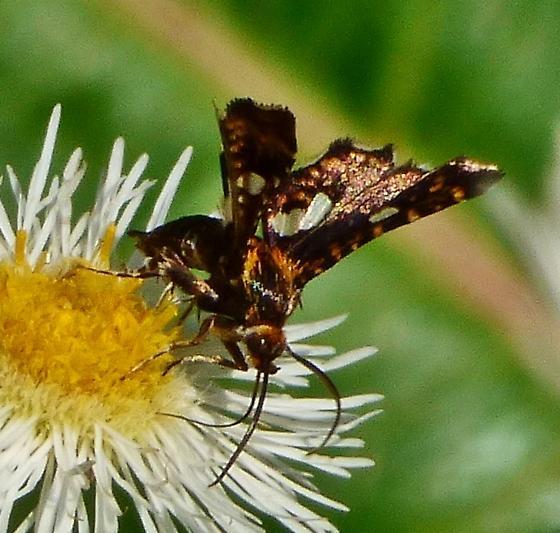 Unknown - Thyris maculata