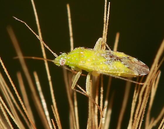 Plant Bug - Keltonia tuckeri