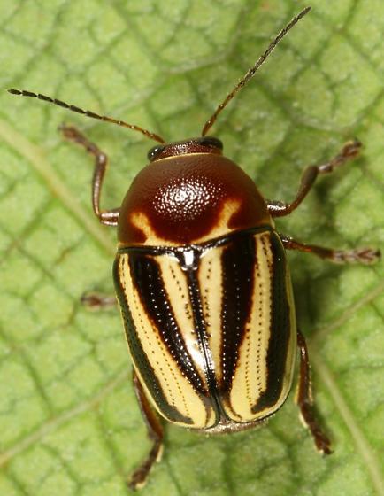 Case-bearer - Cryptocephalus venustus