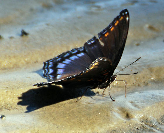 Butterfly on Mud at Low Tide - Limenitis arthemis