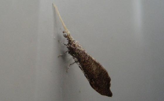 Bentsen Beaded LW - Lomamyia squamosa