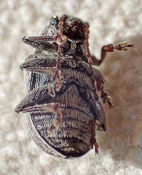 Hairy beetle - Glyptoscelis