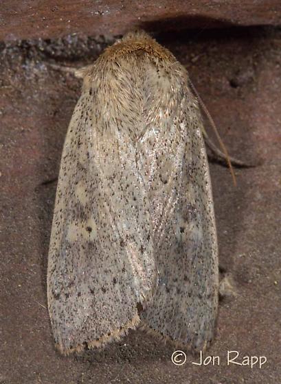Unarmed Wainscot - Leucania inermis