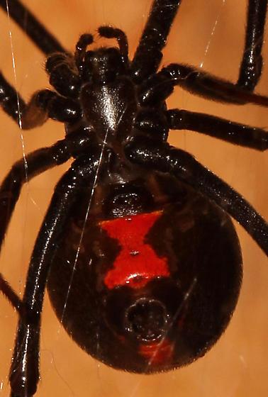 L. mactans? - hourglass - Latrodectus hesperus - female