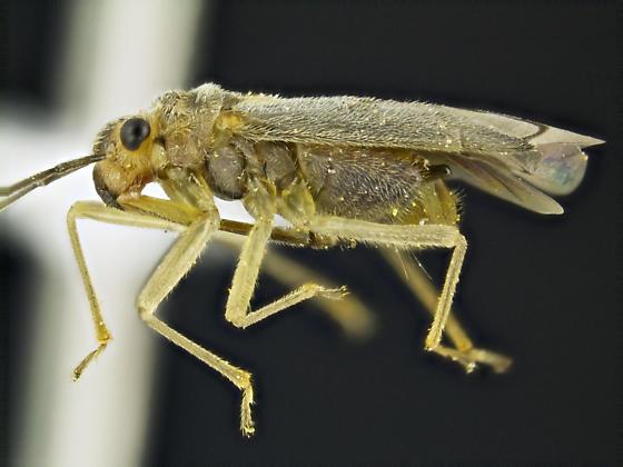 Caulotops - Agaveocoris - male