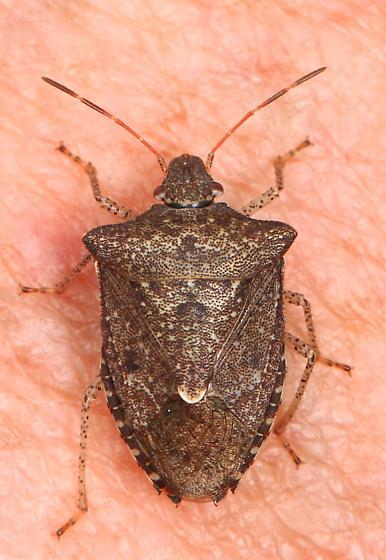 Euschistus Stink Bug? - Euschistus servus