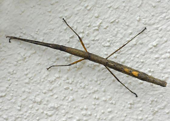 Walking stick that wasn't. Maybe Carausius morosus? - Carausius morosus