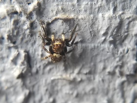 Sitticus/Sittiflor/Sassacus? - Pseudeuophrys erratica - male