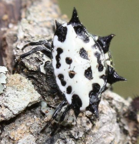 Crab looking spider-Orb Weaver? - Gasteracantha cancriformis