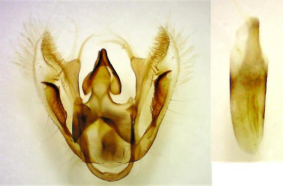 Eufidonia convergaria - Pine Powder Moth - Hodges#6637 - Eufidonia convergaria - male