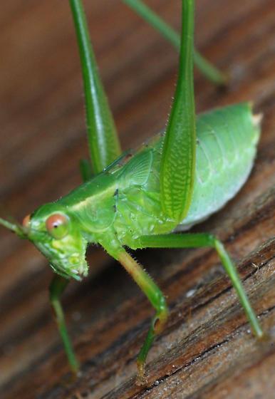 bush cricket nymph - Scudderia - male