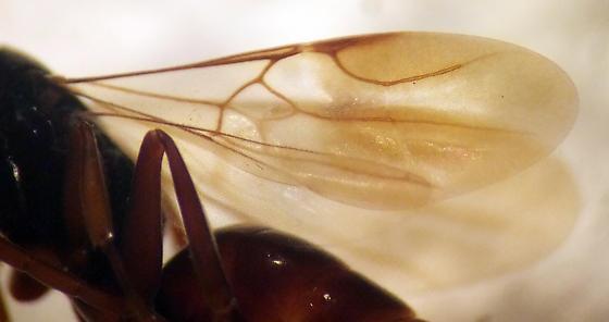 Ampulichomorpha confusa - male