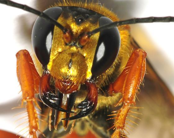 Id request - Sphex ichneumoneus - female