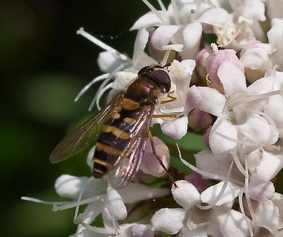 Syrphidae 'Flower Fly'